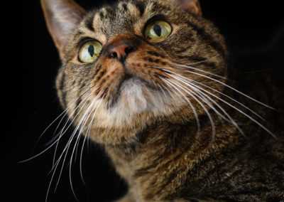 Beautiful cats portraits by DYRafaeliphotography.com 12