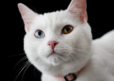 Beautiful cats portraits by DYRafaeliphotography.com 7
