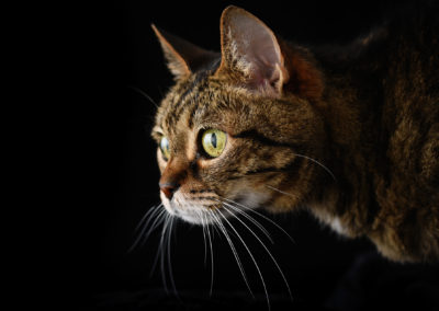 Beautiful cats portraits by DYRafaeliphotography.com 8